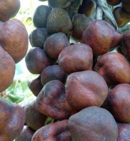 khasiat dan manfaat buah zuriat untuk kesehatan